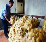 FUN FOR GINGER GROWERS IN QISHAN