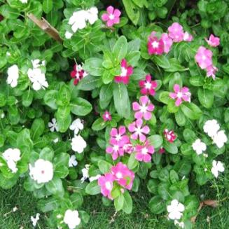 CATHARANTHUS ROSEUS TRUNKS AND LEAVES