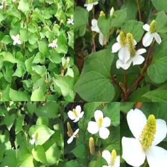 Houttuynia cordata Thunb